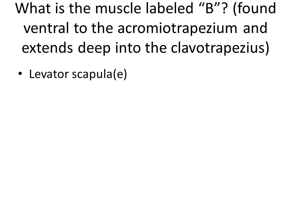 What is the muscle labeled B