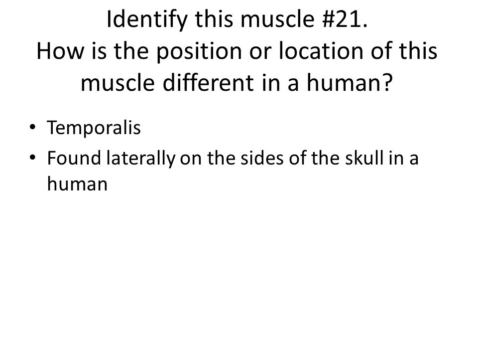 Identify this muscle #21. How is the position or location of this muscle different in a human