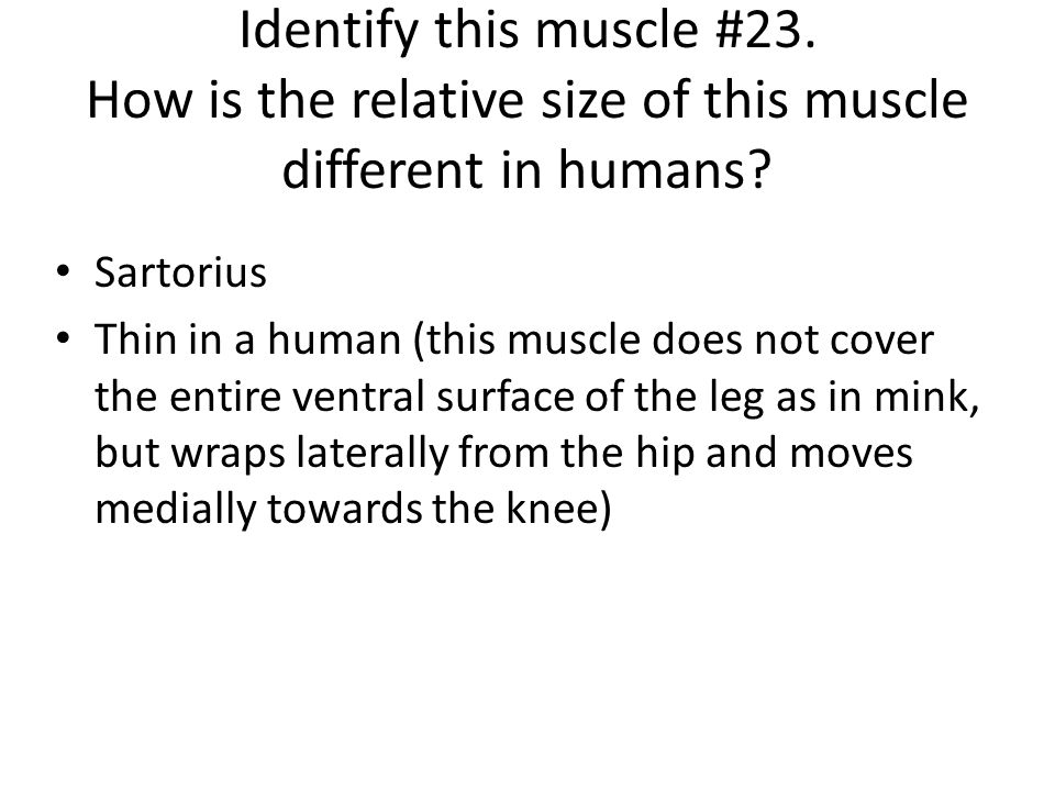 Identify this muscle #23. How is the relative size of this muscle different in humans