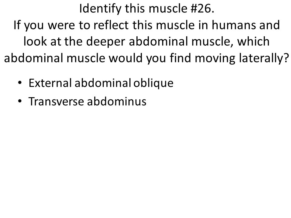 Identify this muscle #26. If you were to reflect this muscle in humans and look at the deeper abdominal muscle, which abdominal muscle would you find moving laterally