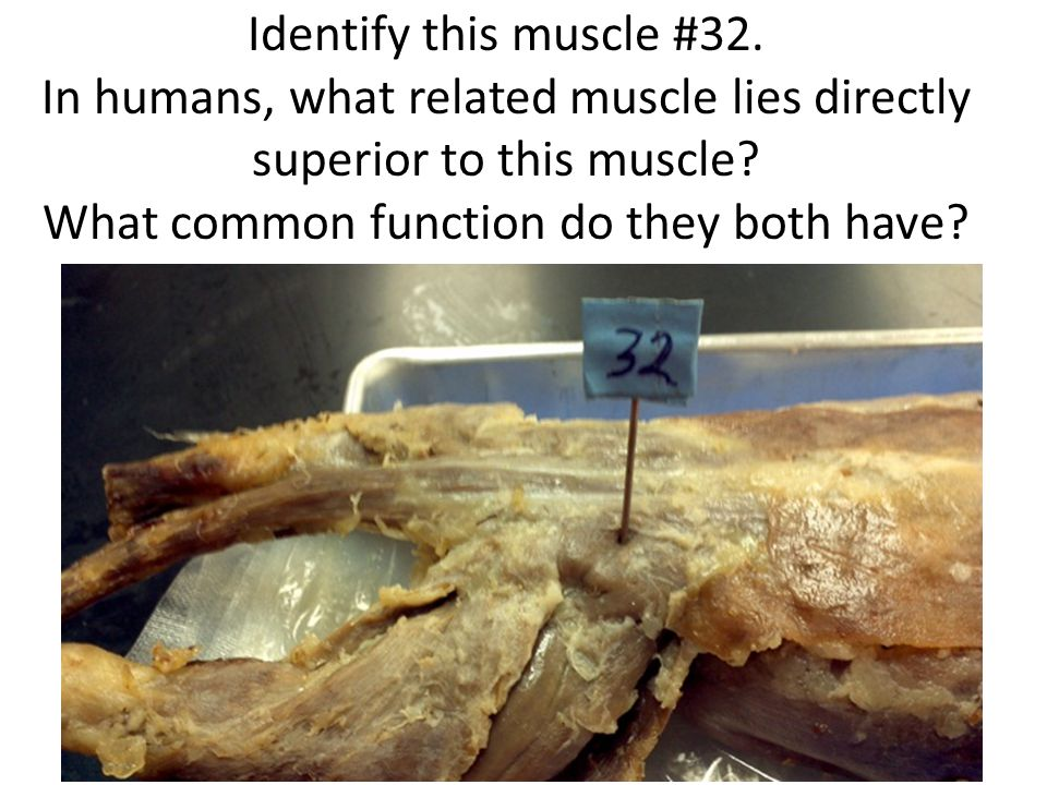 Identify this muscle #32. In humans, what related muscle lies directly superior to this muscle.