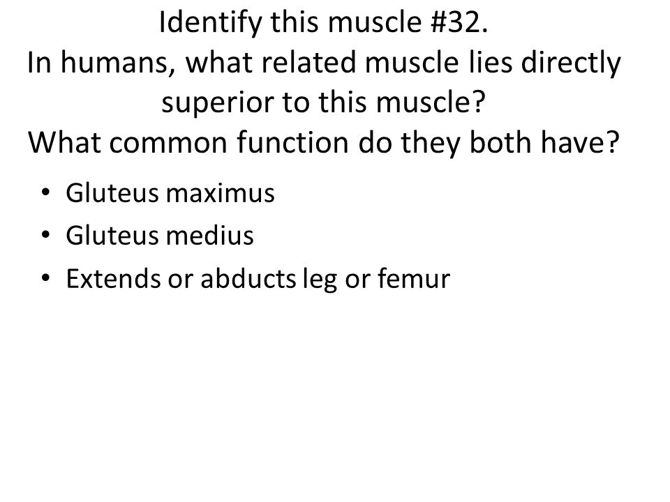 Identify this muscle #32. In humans, what related muscle lies directly superior to this muscle What common function do they both have