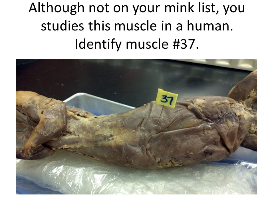 Although not on your mink list, you studies this muscle in a human