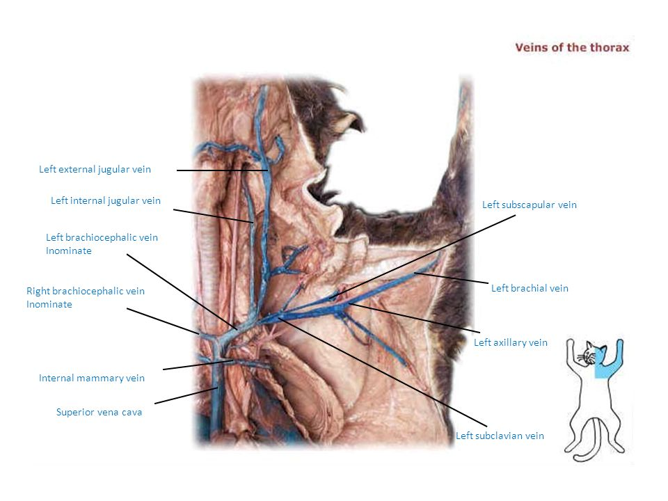 Left external jugular vein