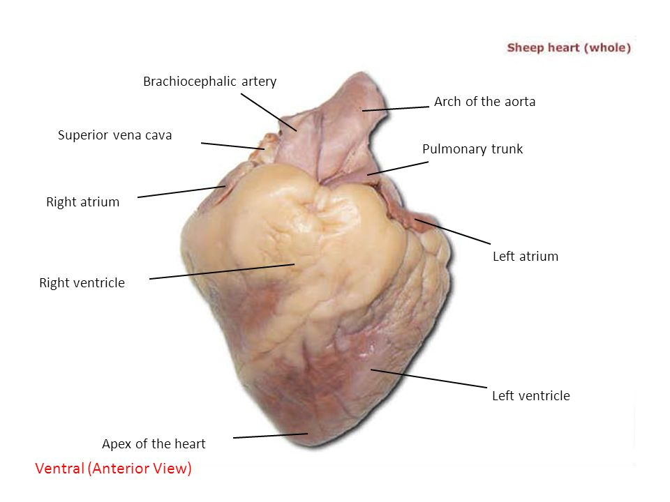 Right atrium sheep heart labeled diagram wiring library cat dissection superior arteries and veins ppt video online download rh slideplayer com easy sheep heart dissection labeled animated sheep heart labeled ccuart Choice Image