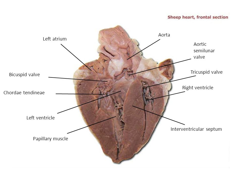 Aorta Left atrium. Aortic. semilunar. valve. Tricuspid valve. Bicuspid valve. Right ventricle.