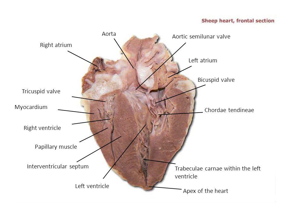 Aorta Aortic semilunar valve. Right atrium. Left atrium. Bicuspid valve. Tricuspid valve. Myocardium.
