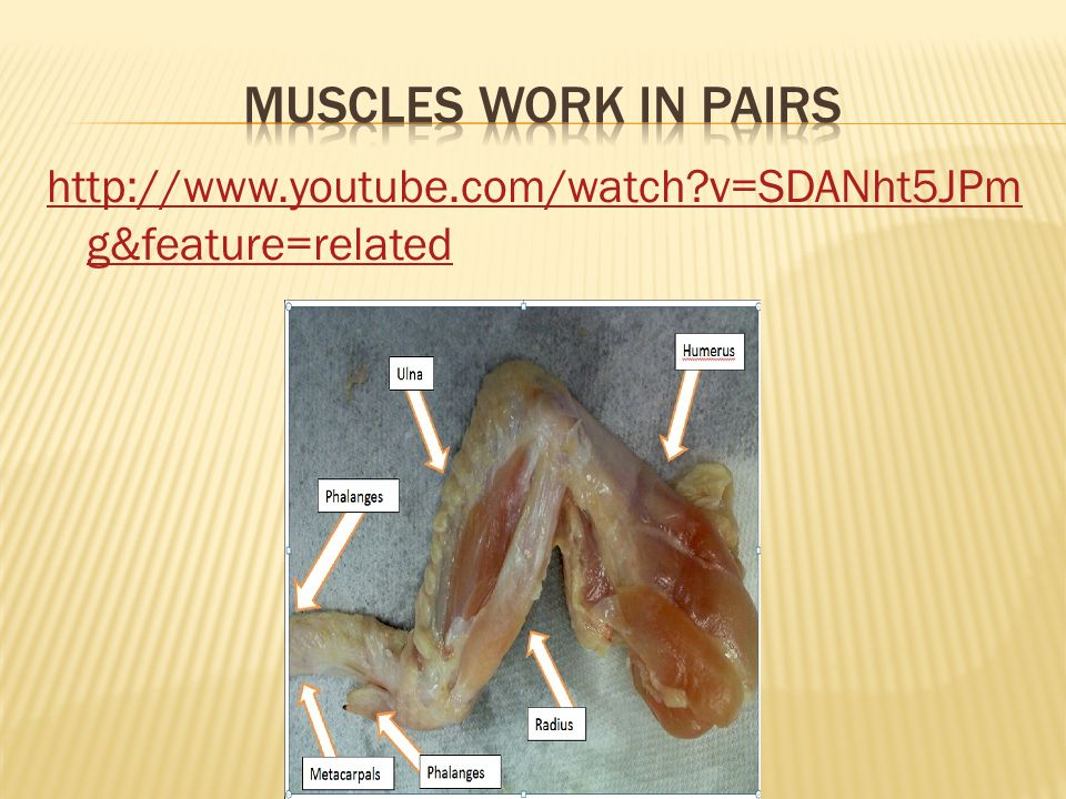 Muscles Work in Pairs http://www.youtube.com/watch v=SDANht5JPmg&feature=related