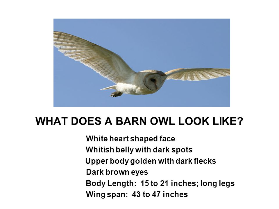 WHAT DOES A BARN OWL LOOK LIKE