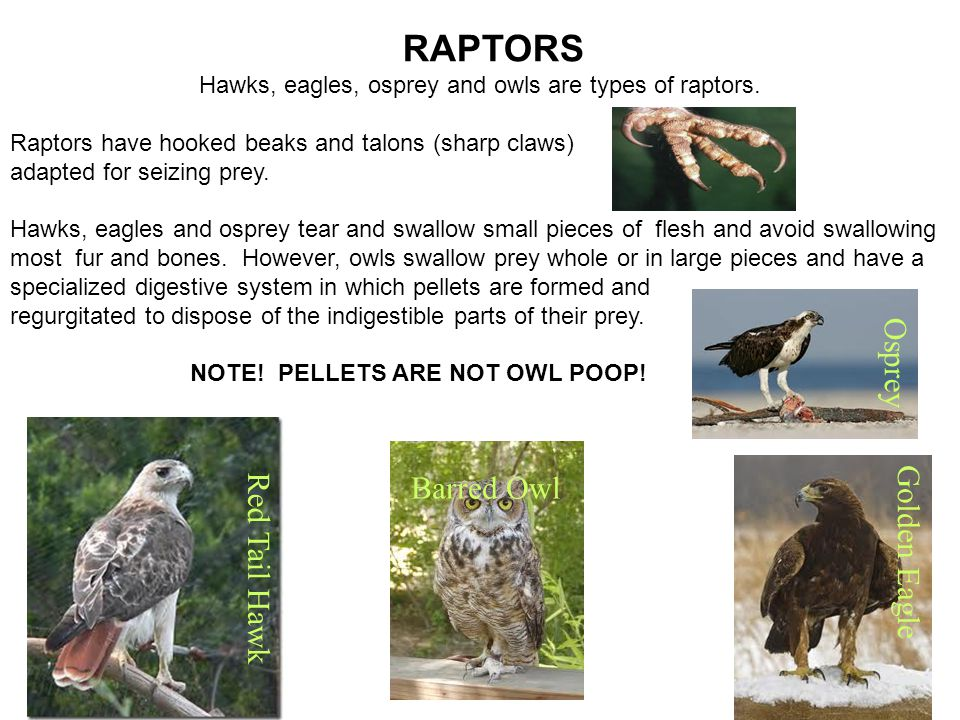 Hawks, eagles, osprey and owls are types of raptors.