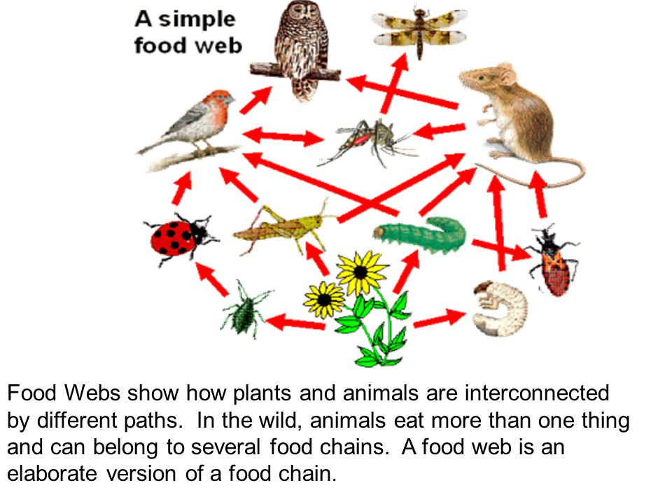 Food Webs show how plants and animals are interconnected