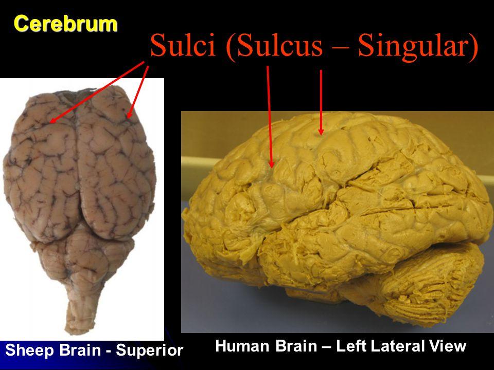 Sulci (Sulcus – Singular)