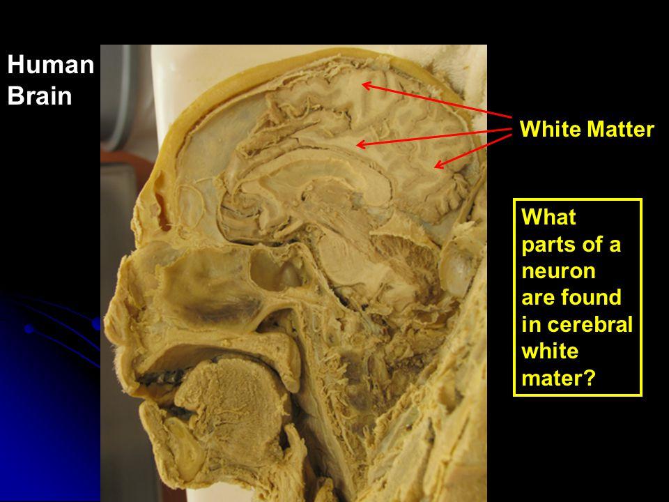 Human Brain White Matter