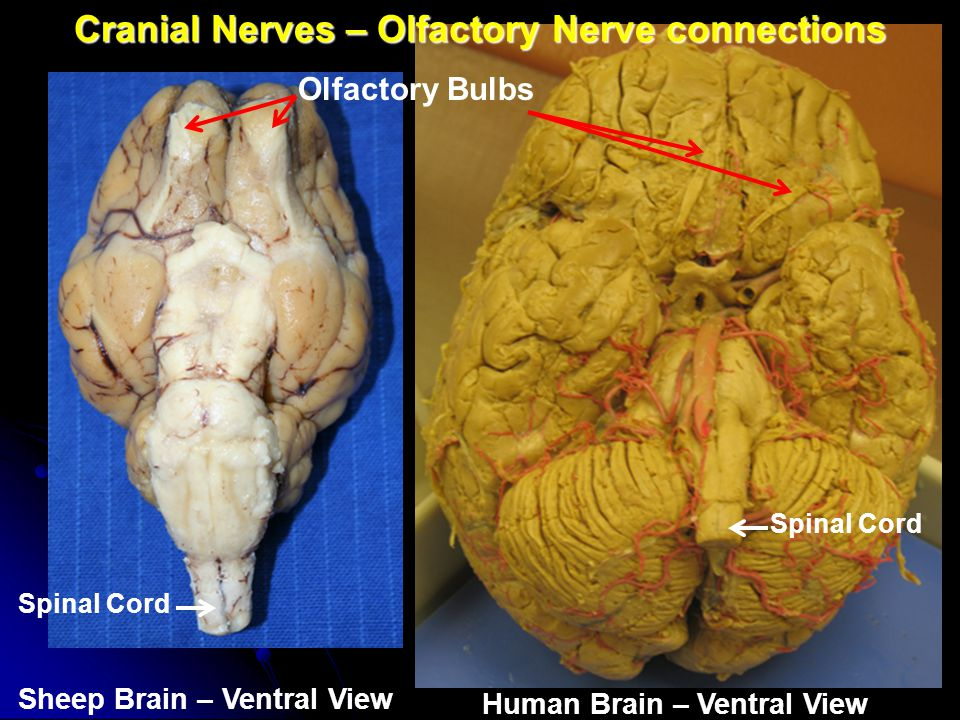 Cranial Nerves – Olfactory Nerve connections