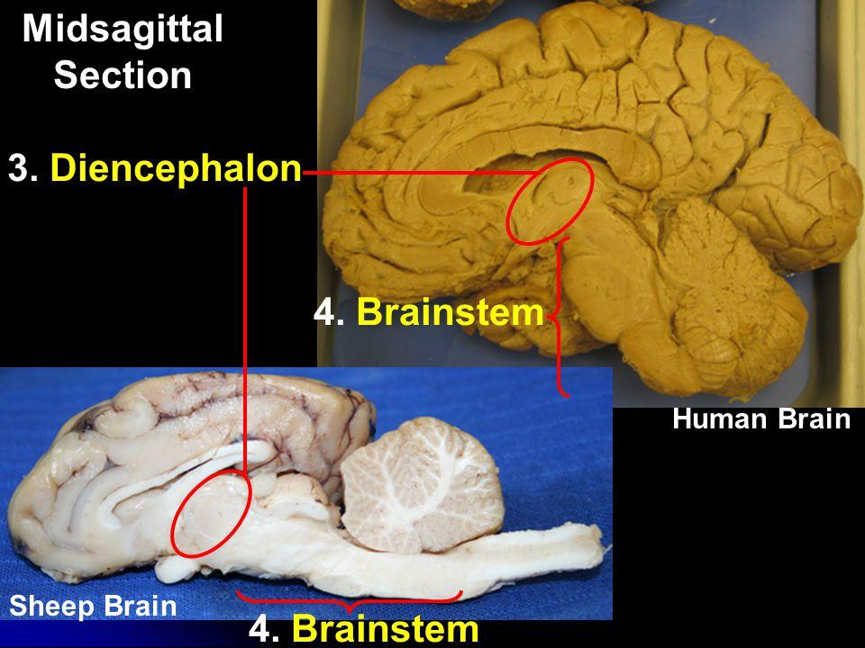 Midsagittal Section 3. Diencephalon 4. Brainstem 4. Brainstem