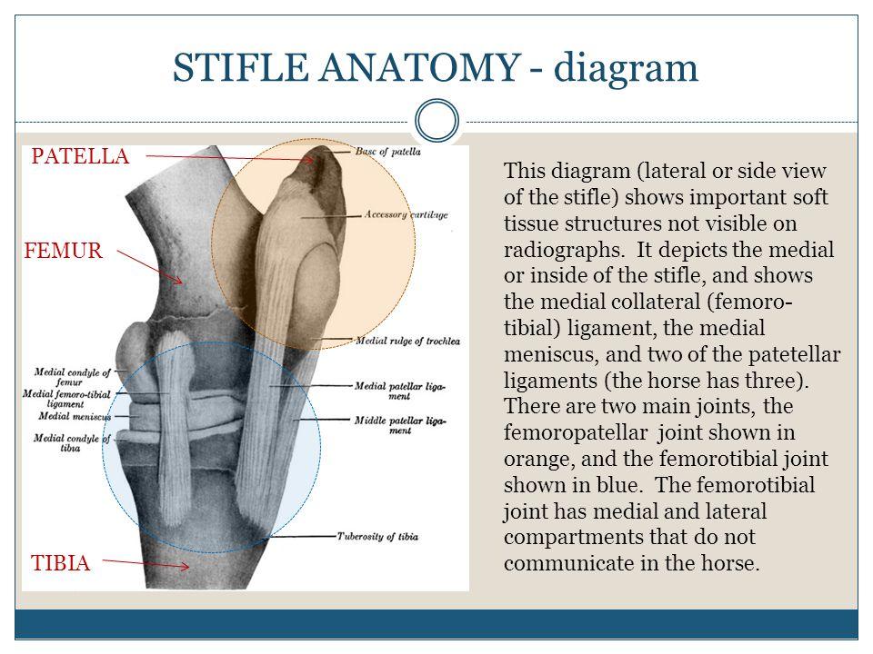 STIFLE ANATOMY - diagram