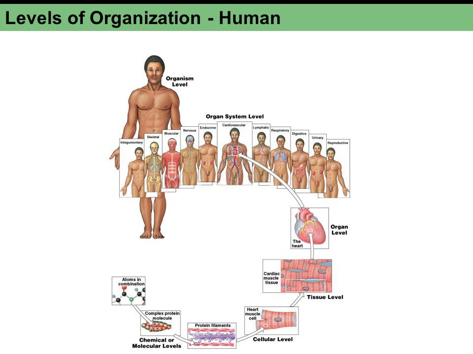 Levels of Organization - Human