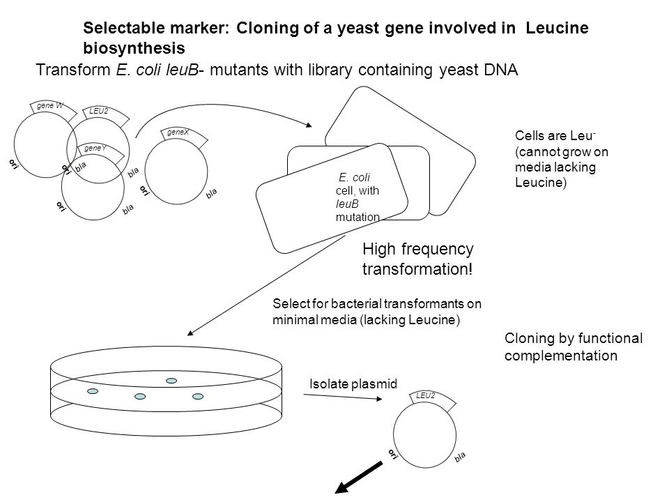 Transform E. coli leuB- mutants with library containing yeast DNA