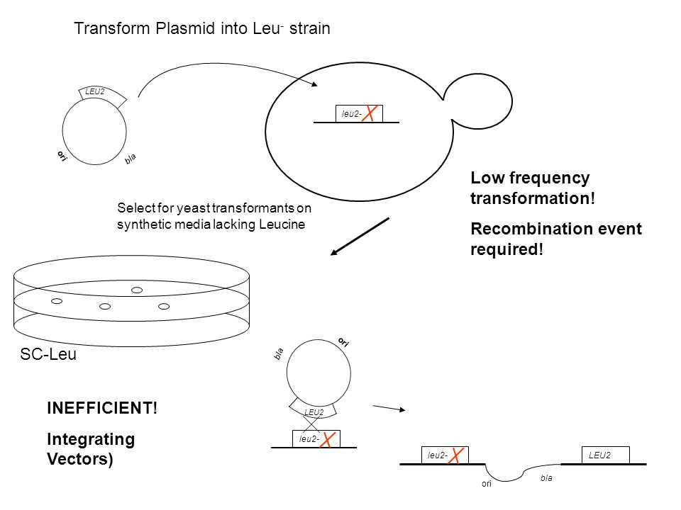 Transform Plasmid into Leu- strain