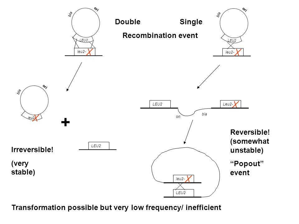 + Double Single Recombination event Reversible! (somewhat unstable)