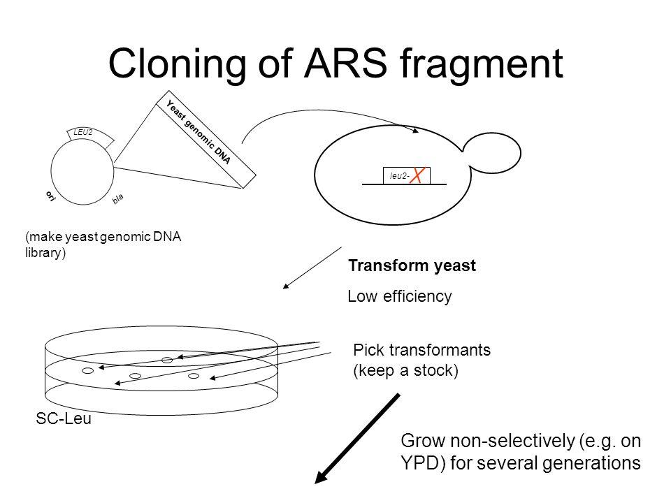 Cloning of ARS fragment