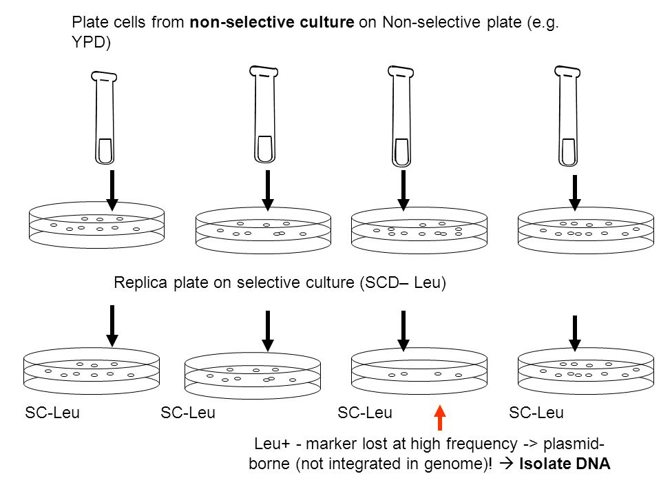 Plate cells from non-selective culture on Non-selective plate (e. g