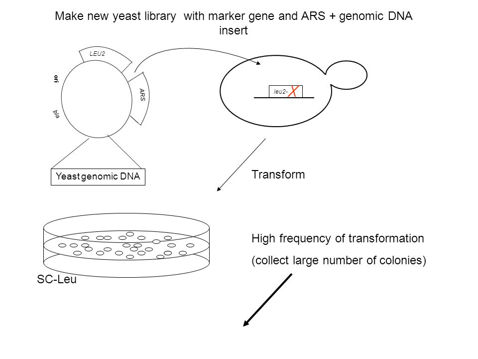 Make new yeast library with marker gene and ARS + genomic DNA insert