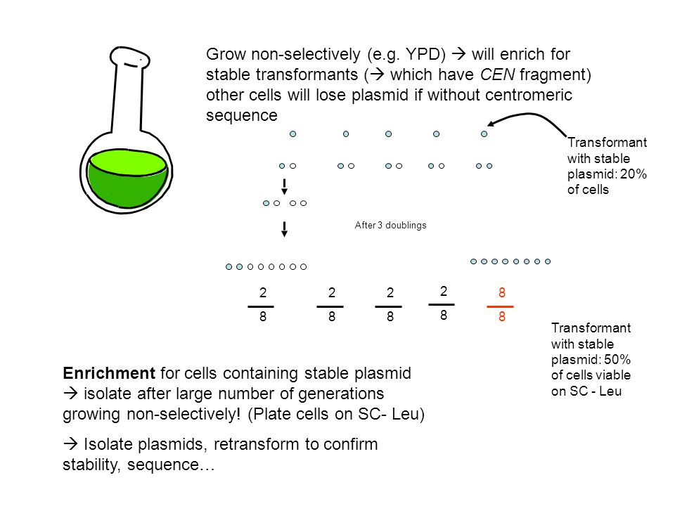  Isolate plasmids, retransform to confirm stability, sequence…