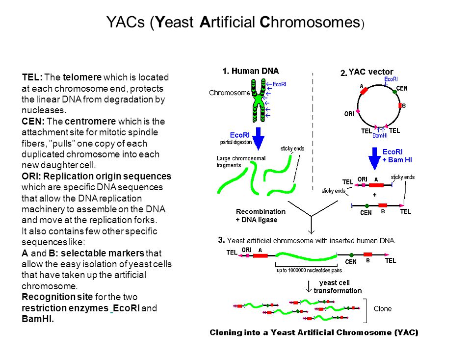 YACs (Yeast Artificial Chromosomes)