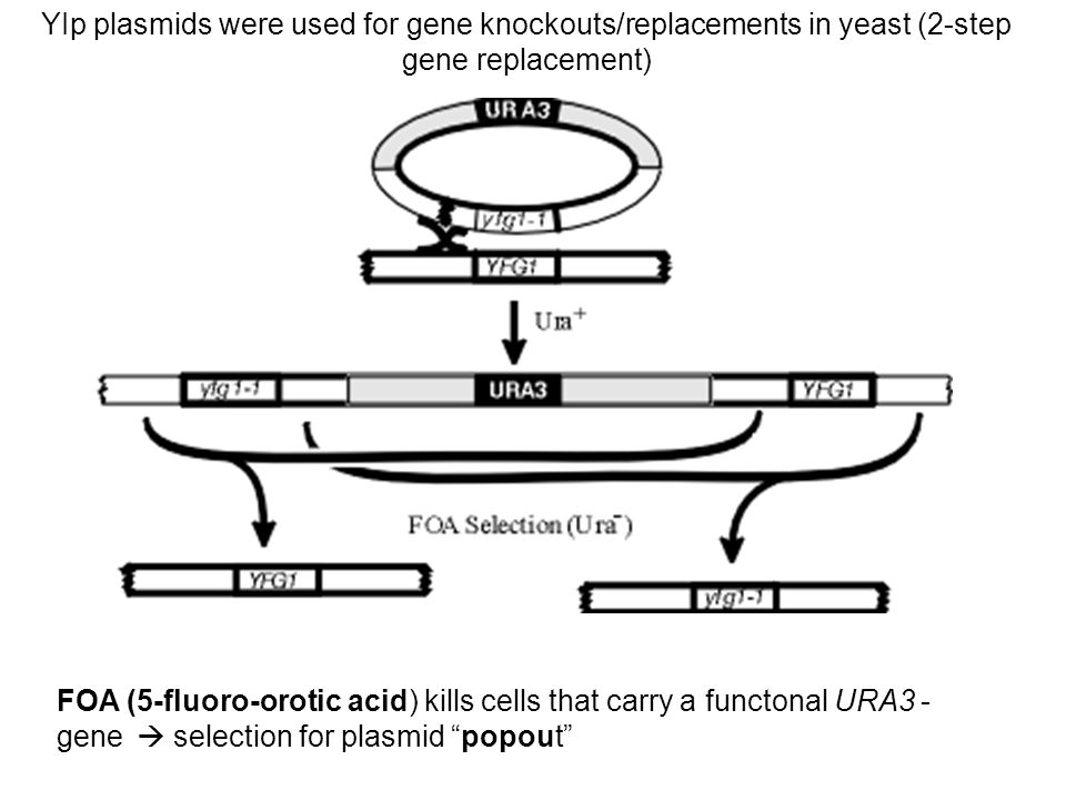 YIp plasmids were used for gene knockouts/replacements in yeast (2-step gene replacement)