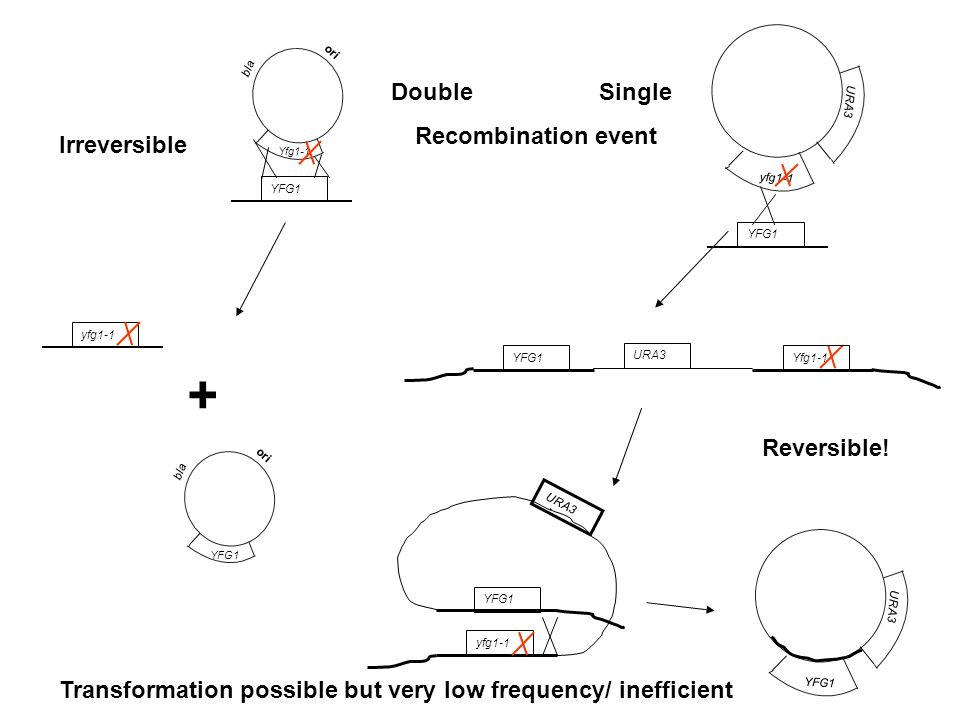 + Double Single Recombination event Irreversible Reversible!