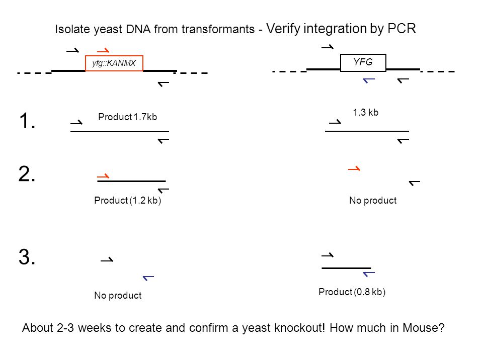 Isolate yeast DNA from transformants - Verify integration by PCR