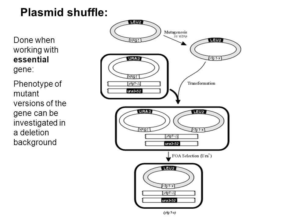 Plasmid shuffle: Done when working with essential gene: