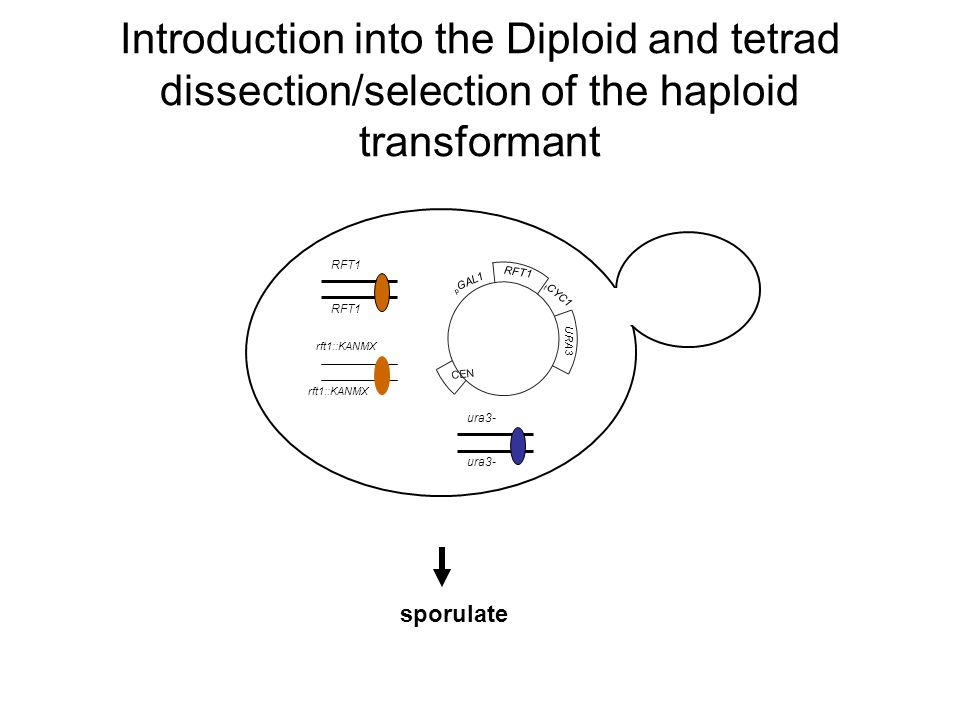 Introduction into the Diploid and tetrad dissection/selection of the haploid transformant