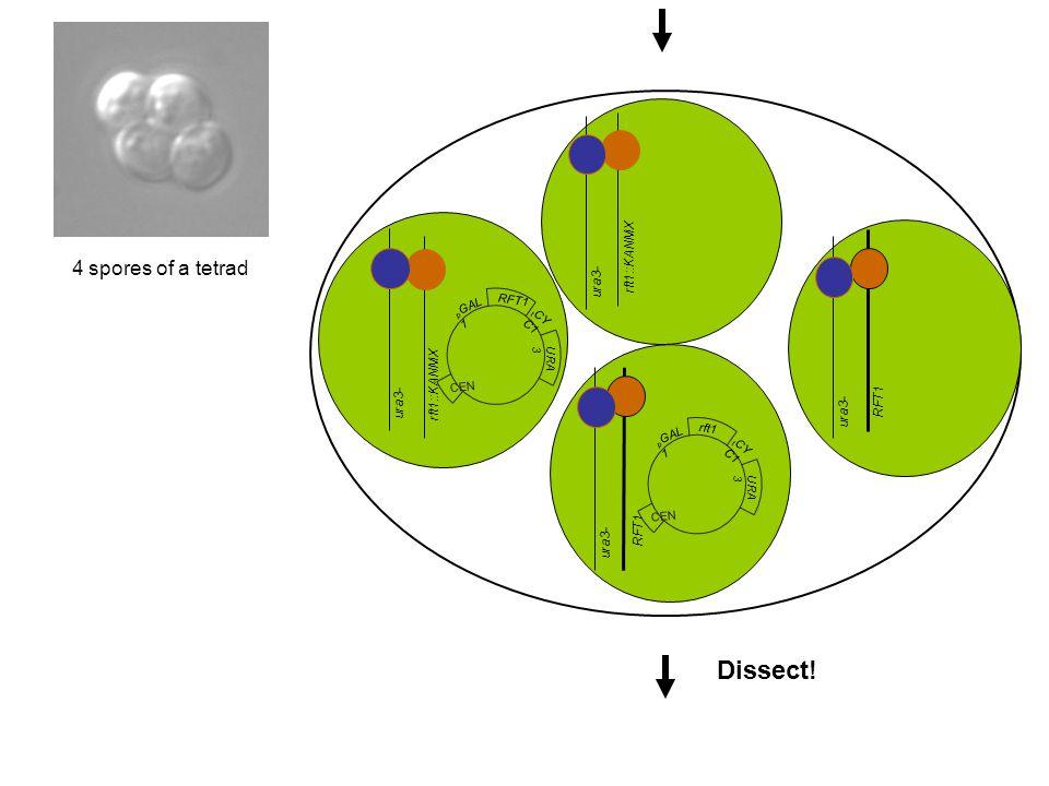 Dissect! 4 spores of a tetrad rft1::KANMX ura3- rft1::KANMX ura3- RFT1