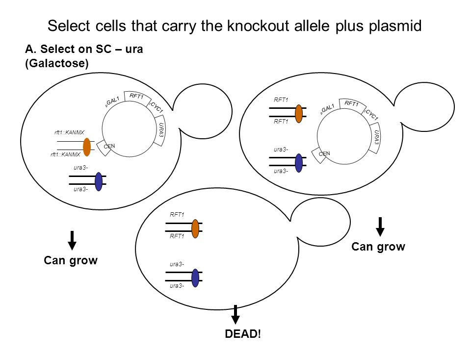 Select cells that carry the knockout allele plus plasmid