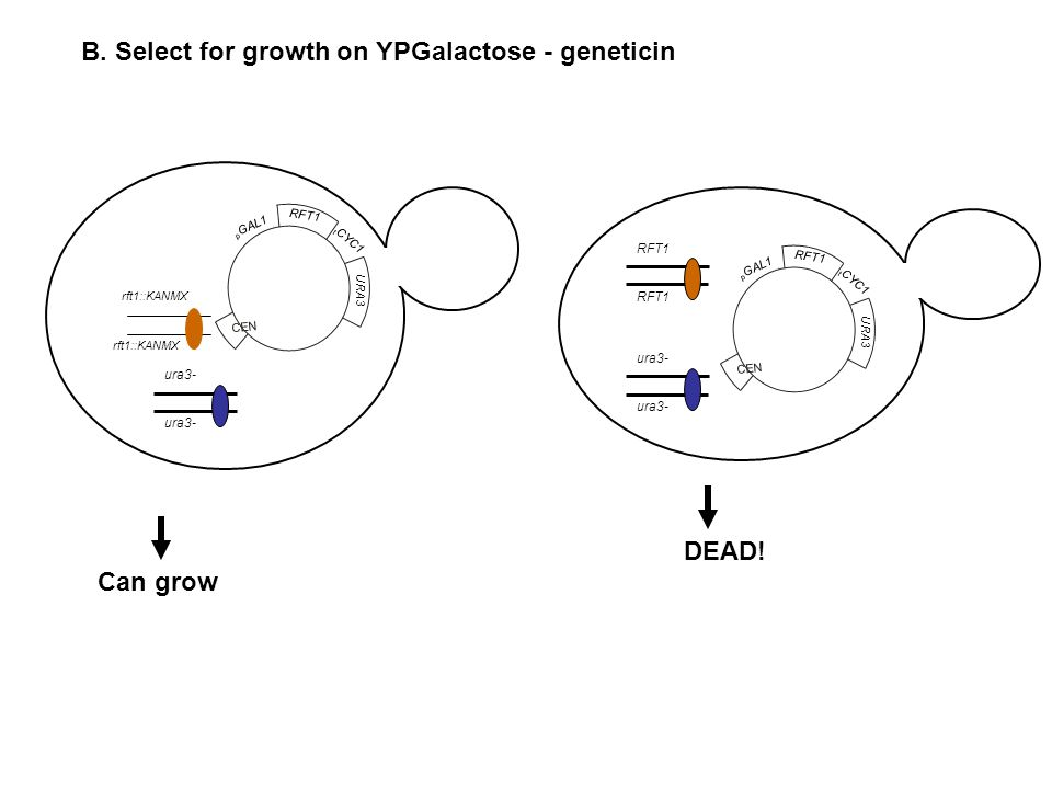 B. Select for growth on YPGalactose - geneticin