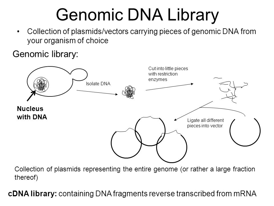 Genomic DNA Library Genomic library: