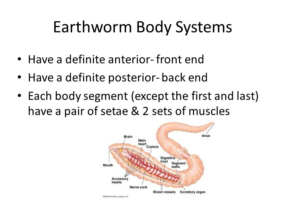 Earthworm Body Systems