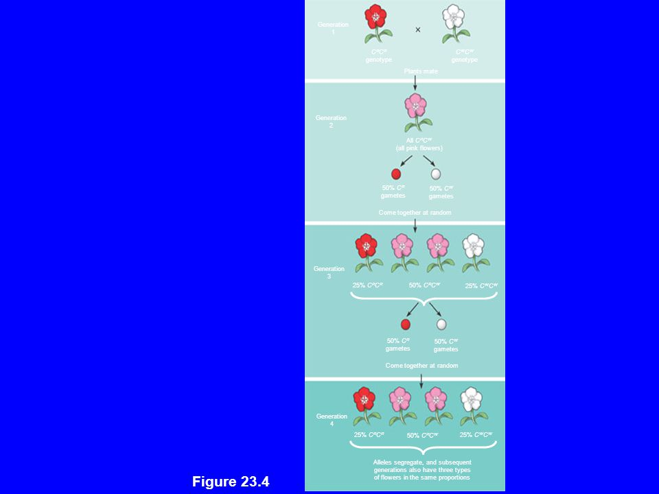 Figure 23.4 Generation 1 CRCR CWCW genotype Plants mate 2 All CRCW