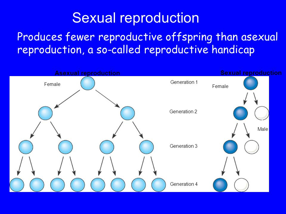 Sexual reproduction Produces fewer reproductive offspring than asexual