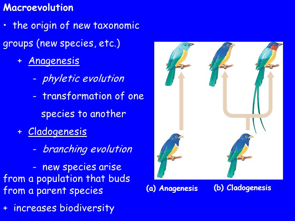 the origin of new taxonomic groups (new species, etc.) + Anagenesis