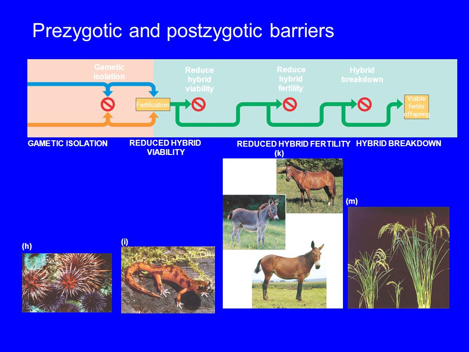 Prezygotic and postzygotic barriers