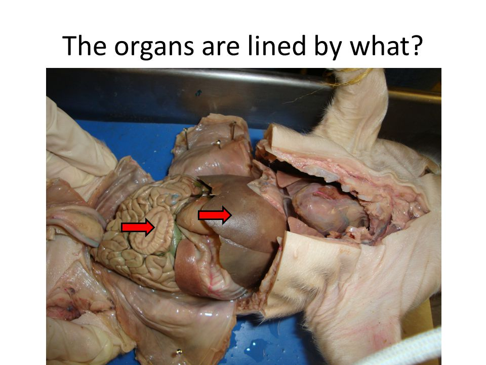 The organs are lined by what