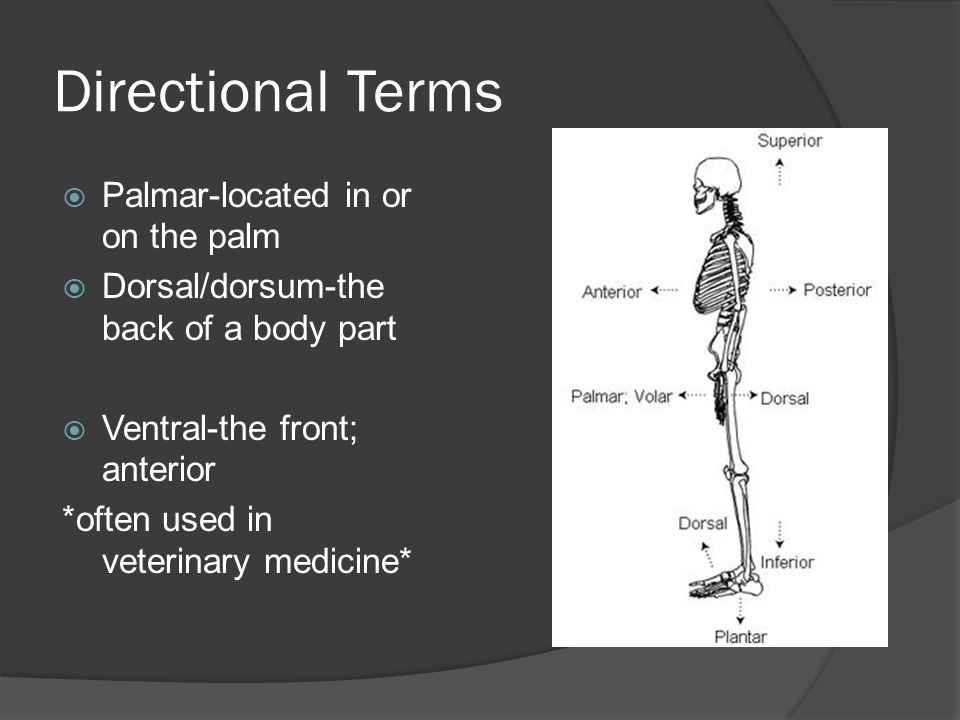 Directional Terms Palmar-located in or on the palm