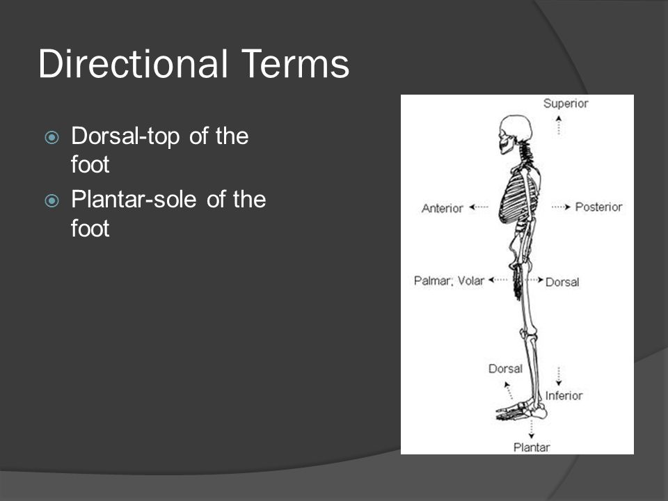 Directional Terms Dorsal-top of the foot Plantar-sole of the foot