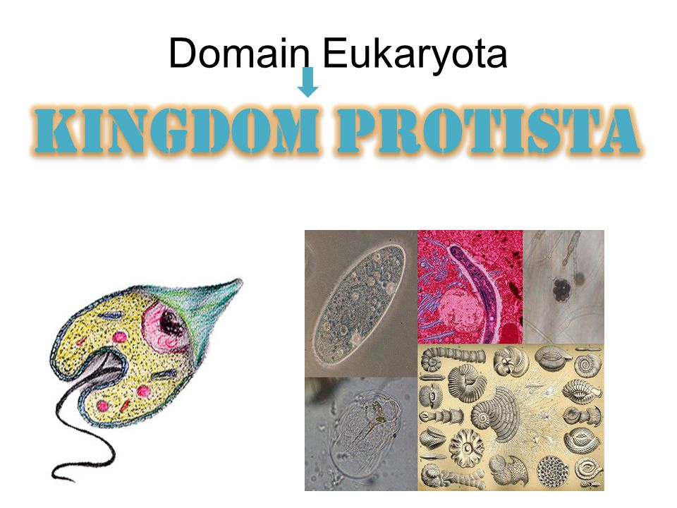 Domain Eukaryota KINGDOM PROTISTA