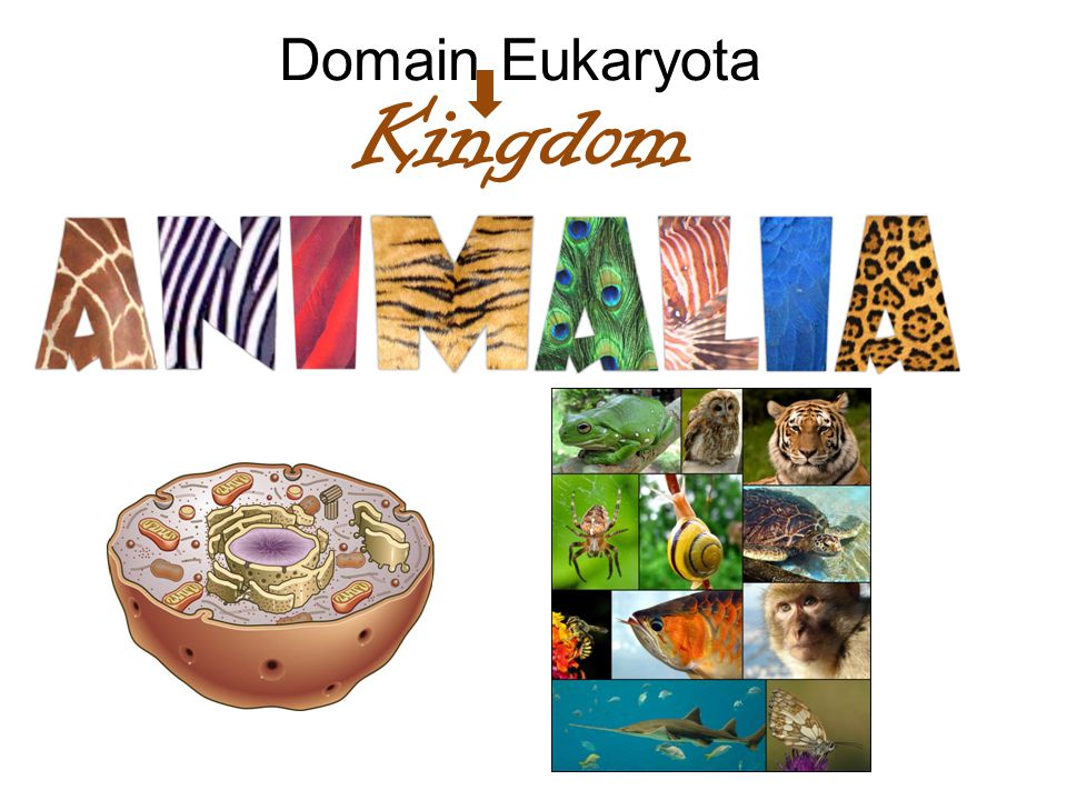 Domain Eukaryota Kingdom