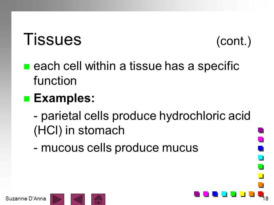 Tissues (cont.) each cell within a tissue has a specific function