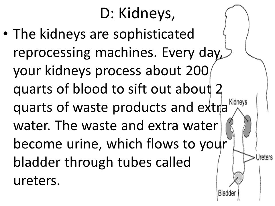 D: Kidneys,